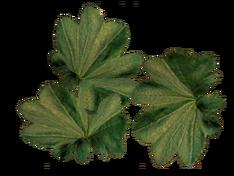 Листья манжетки.png