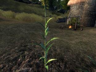 Стебель кукурузы