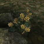 Золотой канет (растение) 02.jpg