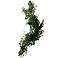 Бородатый мох.png