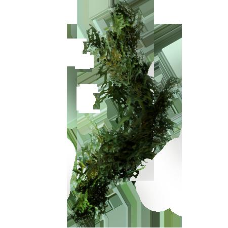 Бородатый мох (Skyrim)