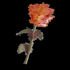 Красный горноцвет.png