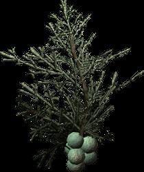 Bacche di ginepro (Skyrim)