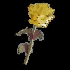Жёлтый горноцвет.png