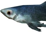 Abecean Longfin