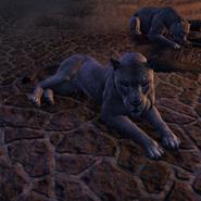 Lionne du désert