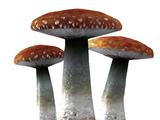 Лютый гриб (Skyrim)