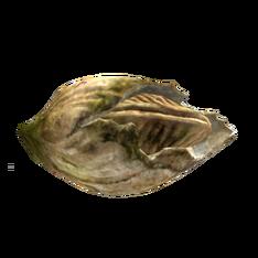 Морской жёлудь.png