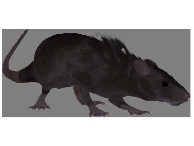 Rat (Oblivion)