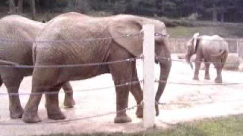 Elephants_2,_ZOO_Lesna_-_Sloni_2,_ZOO_Lešná