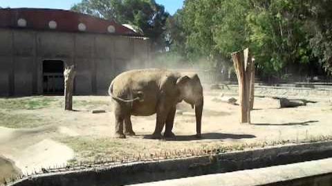 Elefante_-_Zoo_di_Napoli