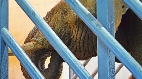 El_elefante_macho_Kibo_llega_a_Bioparc_Valencia_(19_de_septiembre_de_2013)