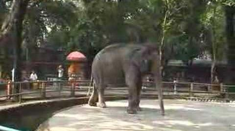 Elephant_in_Manila_Zoo