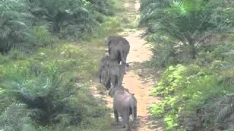 Elephants_in_Bukit_Tigapuluh_Ecosystem,_inside_oil_palm_plantation_PT_Agro,_Teluk_Kayu_Putih