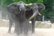 Wikia-Visualization-Main,elefanten