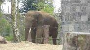Pairi daiza 14 08 14 elephant asie valentino