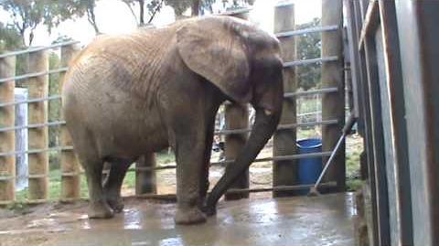 Mila_Jumbo_African_elephant_has_her_daily_warm_water_bath.mpg
