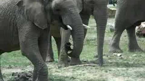 Éléphant_de_thoiry