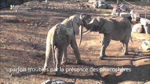 Quand_les_éléphants_font_connaissances_au_Safari_de_Peaugres-0