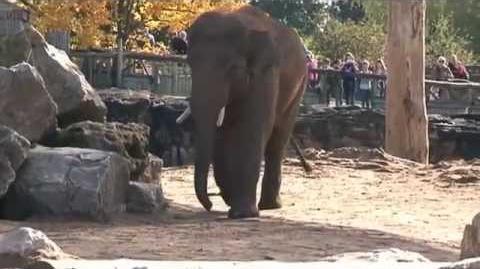 Our new Asian bull elephant settles in