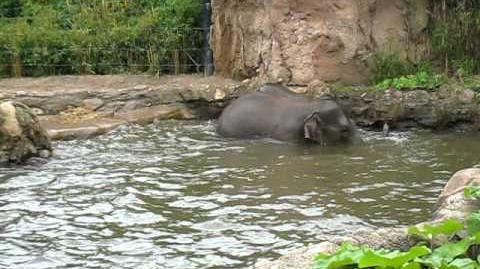 Elephants Playing at Dublin Zoo