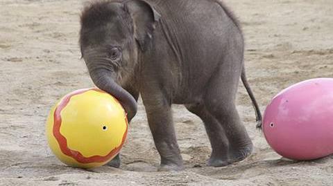 Elefantenbaby_Jamuna_Toni_-_1._Freigang_im_Tierpark_Hellabrunn