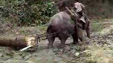 Working Elephant of Myanmar