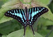 Turquoiseswordtail