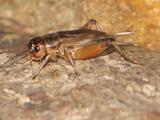 Acheta domesticus