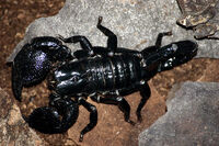 Adult emperor scorpion.jpg