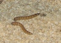 Giant Mealworms.jpg