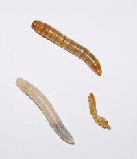 Tenebrio molitor larvae.jpg
