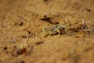Dune scorpion at Kelso dunes