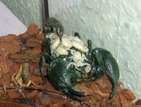 Emperor scorpion with young.png