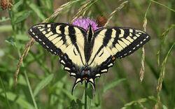 Papilio canadensis.jpg