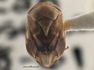 Clastoptera achatina