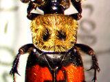 Nicrophorinae