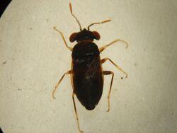 Isthmocoris piceus (Chibougamau) small.jpg