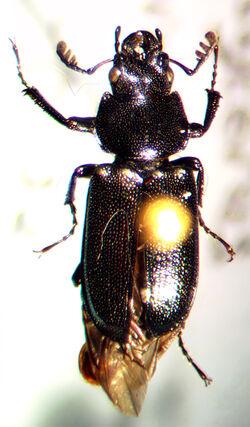 Platycerus decentis.jpg
