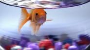 Announcer as goldfish