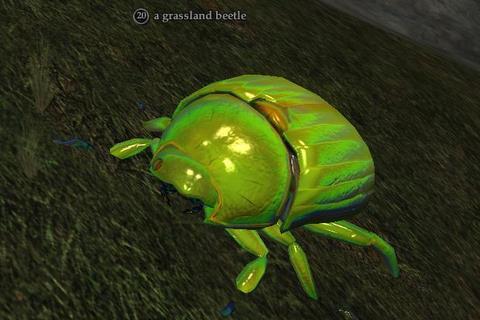 A grassland beetle