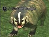 A lowland badger