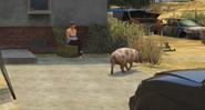 Pig-GTAV-roaming