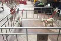 Times sheep