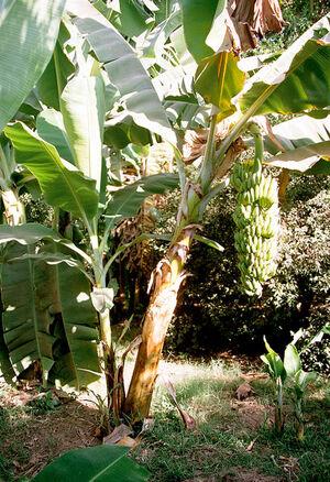 410px-Luxor, Banana Island, Banana Tree, Egypt, Oct 2004.jpg