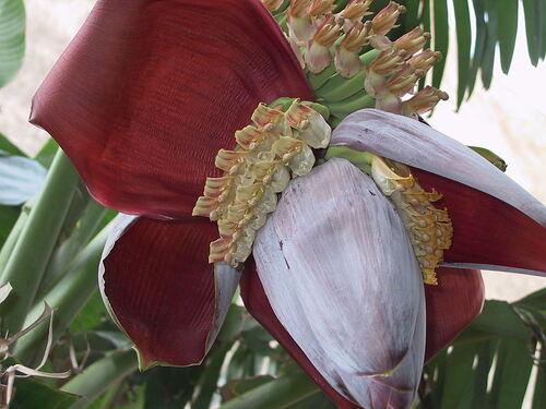 800px-M. acuminata x balbisiana.JPG
