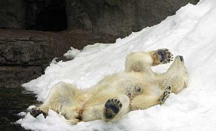北極熊也冷死了