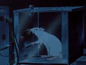 Skinner box rat