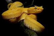 Pit Viper Snake.jpg