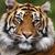 Tigertastrophe